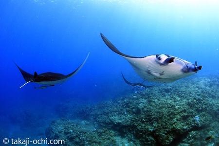 サンゴのリーフ上を優雅に泳ぐマンタたち