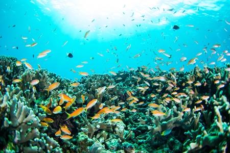 サンゴの根の上を優雅に舞うハナゴイ