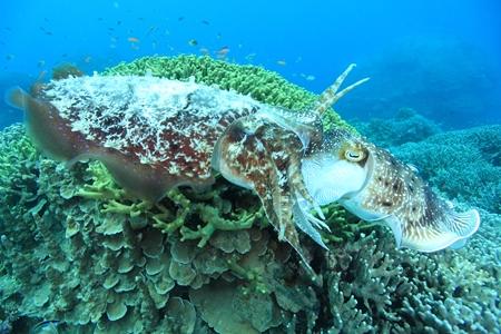 激しく交接中のコブシメのオスとメス