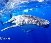 前の記事: 【速報】動画あり! 御蔵島にジンベエザメが出現