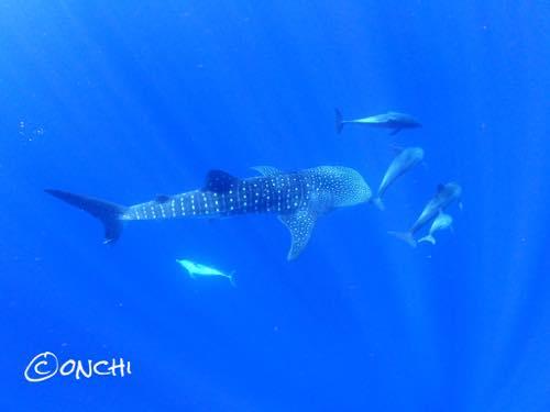 イルカに囲まれながら海の中へ消えるジンベエザメ