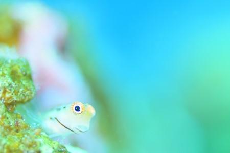 イシガキカエルウオはやっぱりかわいいね