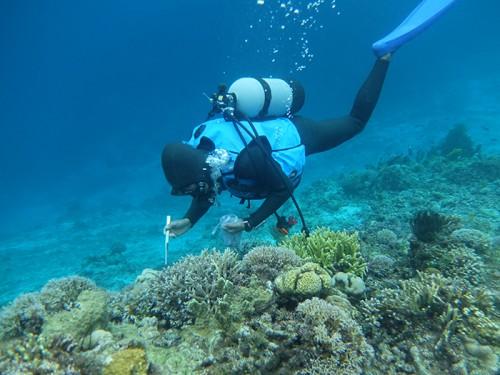 サンゴにとって害貝であるレイシガイの駆除を行う様子