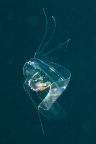 アズマガレイの1種 稚魚(撮影/堀口和重)