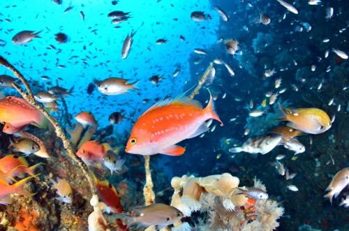 日本海に舞うサクラダイ