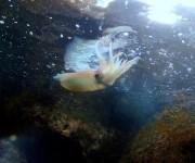 前の記事: 鳥取県・田後の海でミラクル連発! カエルアンコウ、シイラ、ソ