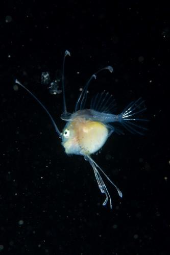 幼魚~成魚と成長するにつれ、全身が長い皮弁で覆われるという(撮影/堀口和重)