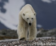 次の記事: 野生のホッキョクグマの生息地へ!写真家・水口博也さん同行ツア