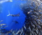 次の記事: メキシコに、ストライプドマーリン(マカジキ)の捕食シーン撮影