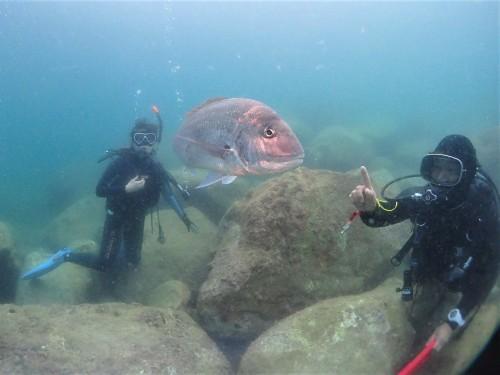 黄金崎の有名魚・マダイのだいちゃんと戯れてみる。