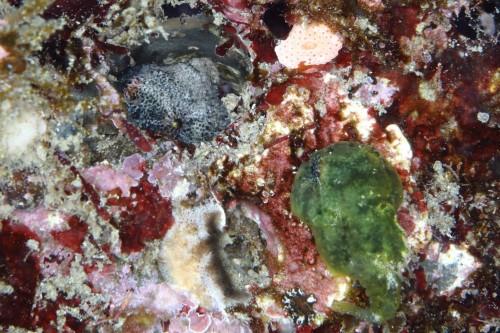 グレーのメスが穴に入り産卵している。それを見守る緑のオス。2匹とも3㎝くらいの大きさ(撮影/佐藤輝)