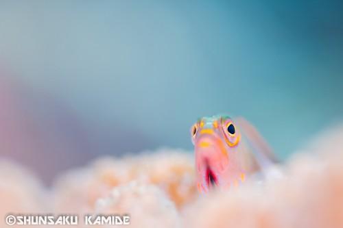 メガネゴンベ。僕が一眼レフで初めて撮った魚。