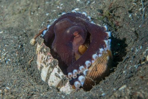 貝殻をバリケードのように砂に立てて、中に潜んでいます。(撮影/堀口和重)