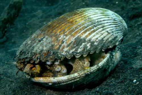 レンベで見た時は貝殻の中に潜んでいたのが見られました。(撮影/堀口和重)