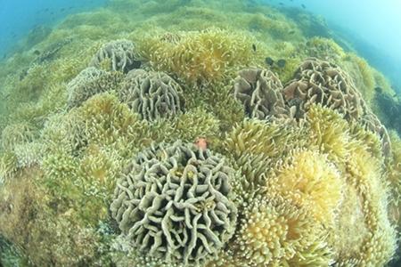 シコロサンゴ サンゴイソギンチャク(撮影:越智隆治)