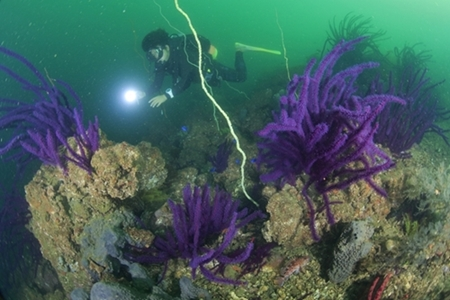 水深15mは紫色をしたアカヤギの群生地