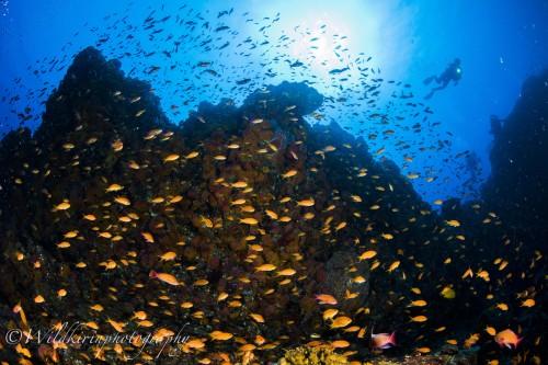潮当たりのいい場所ではキンギョハナダイが流れてくるプランクトンを一斉に捕食していた