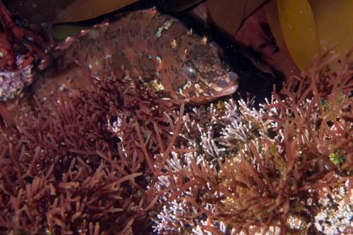 卵を見守るオスのクジメ(撮影/堀口和重)