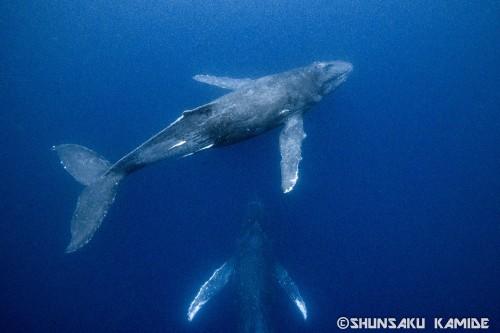 2月中旬、奄美大島周辺で出会った大人のクジラ2頭。