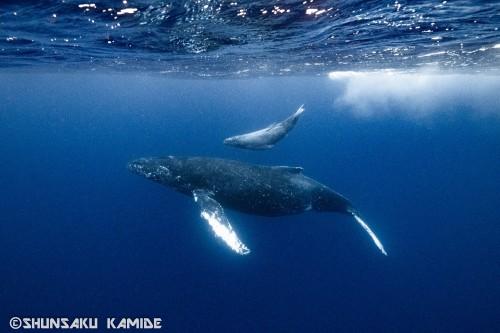 2月末、奄美大島周辺で撮影。今日の話とは直接関係のない親子クジラ。