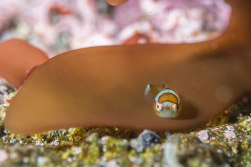 エントリー口から少し泳ぐと出会えるダンゴウオ。3月現在は稚魚も多い(撮影/堀口和重)