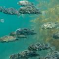 海藻をバックに泳ぐハリセンボンたち(撮影/堀口和重)