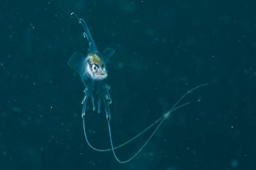 クラゲのような鰭を持つ(撮影/堀口和重)