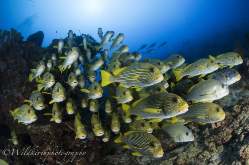 念願のリボンスィートリップスの群れに出会う。よく見ると中にはアヤコショウダイなどゴールドストライプドスィートリップスも一緒に群れている