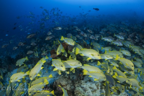 リボンスィートリップス、ヒメフエダイ、ギンガメアジの魚が画角いっぱい収まりきれないほど群れていた(ケープ・クリ)