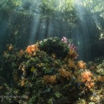 水中には色とりどりのソフトコーラルやホヤ、そして水面下に垂れ下がっている木々の間から入ってくる光は神秘的