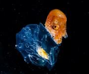"""前の記事: 自分で貝殻を作る""""特殊能力""""を持つタコ⁉謎多きアオイガイの仲"""