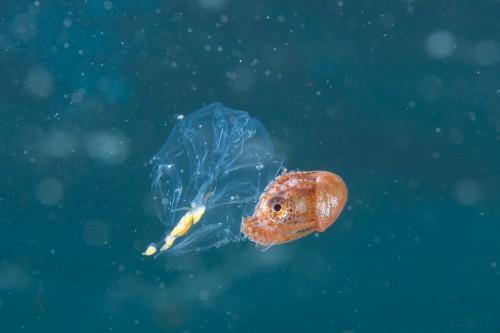 水面をクラゲに乗りながら移動している(撮影/堀口和重)