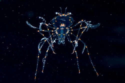 珍しいヨコヤヒメセミエビのフィロゾーマ(撮影/堀口和重)