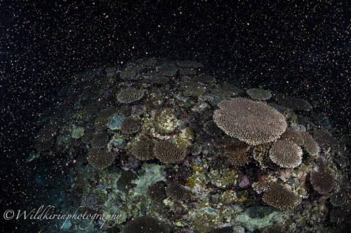 Oceana_Coral_Spawning2019_1
