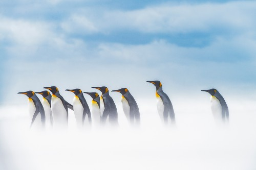 強風で砂浜の真っ白な砂が舞うなか、海へ向かうキングペンギン(撮影:岡田裕介)