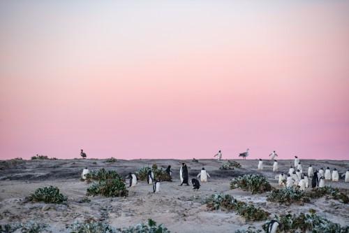 早朝、海へと向かうペンギンを撮影中にふと後ろを振り返ると空が美しいピンク色に染まっていた(撮影:岡田裕介)