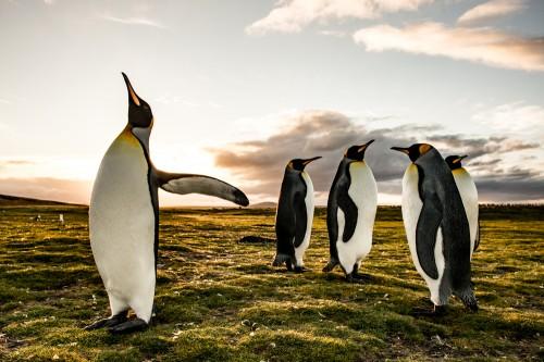 夕暮れ時、海での捕食を終えコロニーに戻る途中で休憩中のキングペンギン(撮影:岡田裕介)