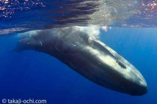 2019年4月に越智カメラマンがスリランカで撮影したシロナガスクジラ