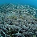 サンゴ礁に群れるクロホシイシモチ(撮影/堀口和重)
