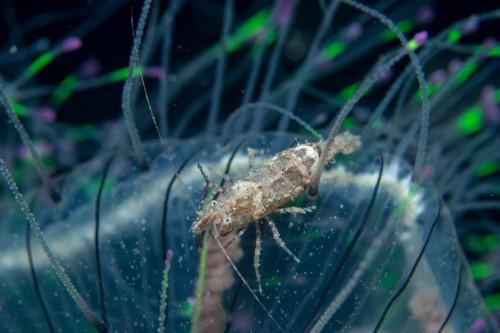 ハナガサクラゲにつくツノモエビ属の1種(撮影/堀口和重)