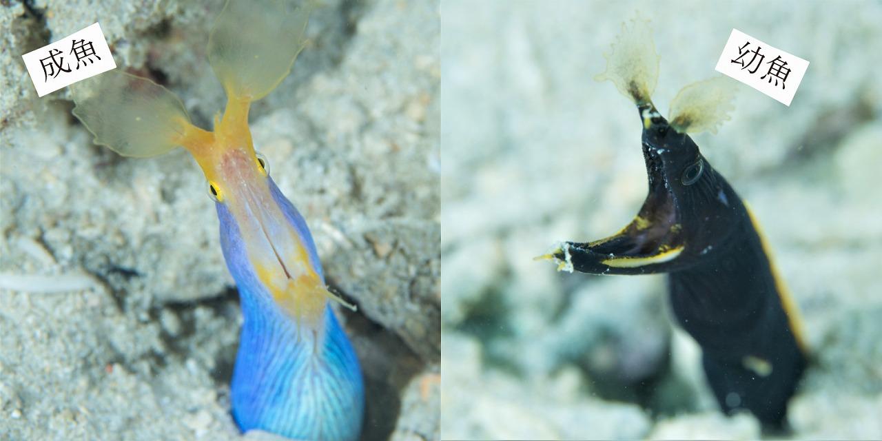 成魚と幼魚でこんなに変わるの?成長による変化もおもしろい