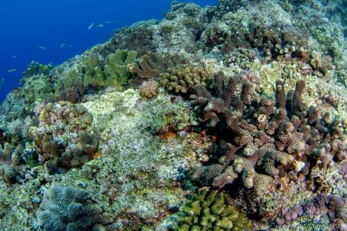 浅場に広がるハナヤサイサンゴの群生(撮影/堀口和重)