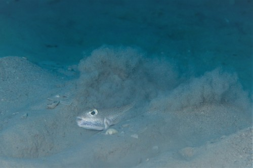 産卵床を必死に作るアマミホシゾラフグのオス(撮影/堀口和重)