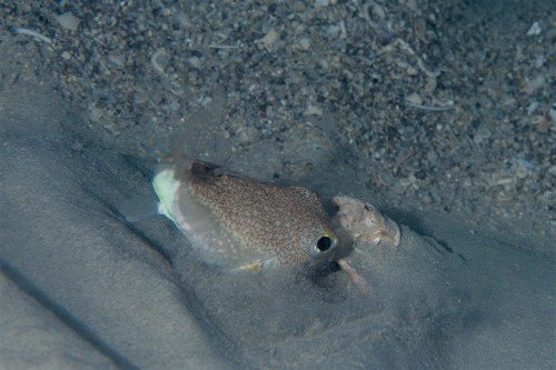 大きな貝殻を動かそうと必死になるアマミホシゾラフグ(撮影/堀口和重)