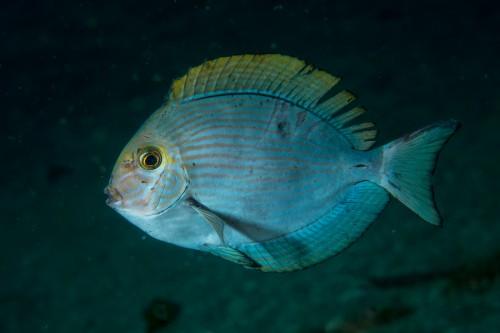 3年前に撮影した、寒さなどで弱っているヒラニザの幼魚(撮影/堀口和重、撮影地/大瀬崎)
