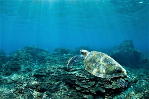 アオウミガメとサンゴ(撮影/堀口和重)
