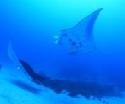 次の記事: 【動画あり】マンタにギンガメアジ、バラクーダ!サメの群れも!