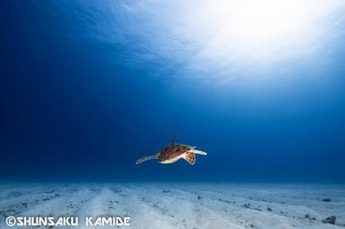 アオウミガメ(撮影ポイント:ポパイ)