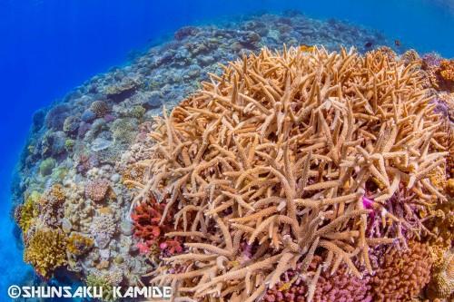 リーフの上を覆いつくすサンゴの群生(撮影ポイント:ジャイアントケーブル)