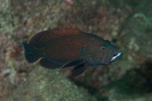 大瀬崎で昨年現れたアザハタの幼魚は、現在20㎝以上にまで成長(撮影/堀口和重、撮影地/大瀬崎)